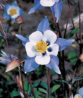 Columbine, Blue Star Remarkably beautiful star effect. White petals are framed by a layer of blue sepals, creating a star effect. Remarkably beautiful. A superb domesticated wildflower for the shady garden, in spring to early summer. Very special for its fancy-lobed, dusky blue-green leaves and unusual, spurred flowers. Highly attractive to hummingbirds for the nectar.