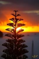Norfolk pine at sunset