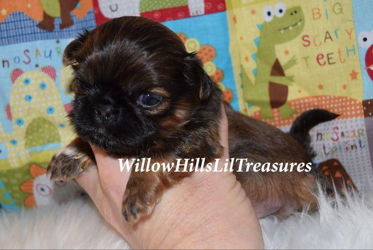 Imperial shih tzu puppy for sale in 2020 shih tzu puppy