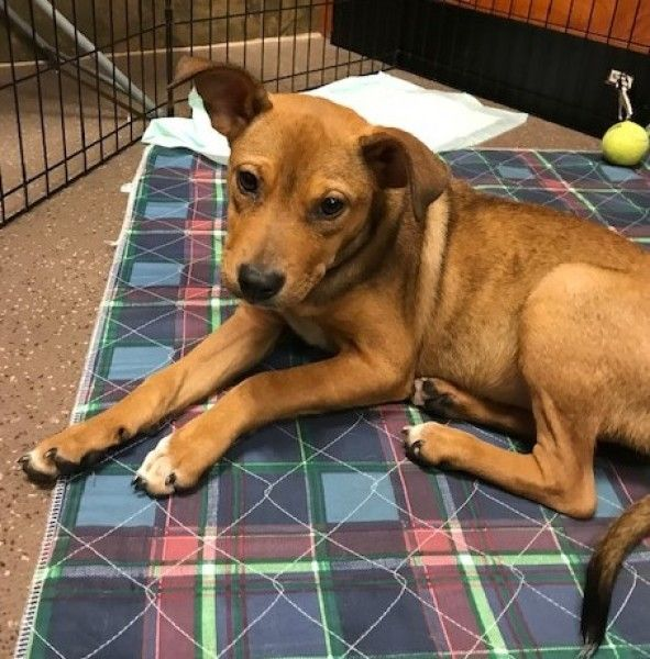 Jack Russell Terrier And American Foxhound Mixed Dog For Adoption