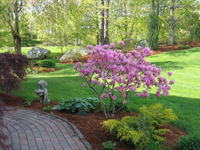Pink magnolia tree as focal point - paired with yellow evergreen shrub