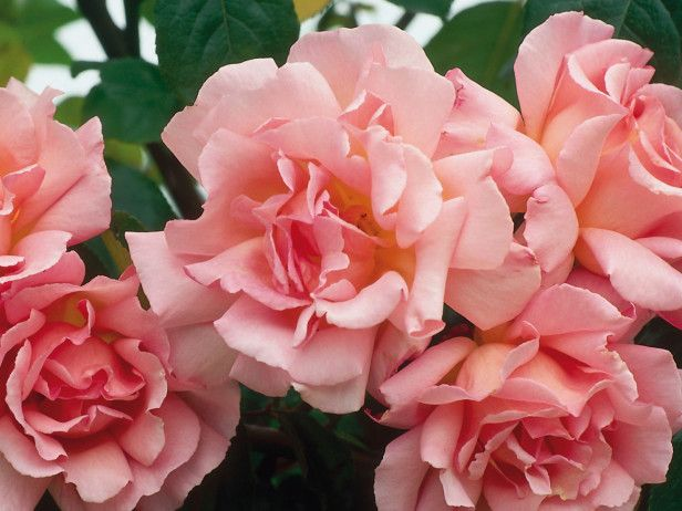How to Prune Roses. by Kathy Woodard, found on thegardenglove.com