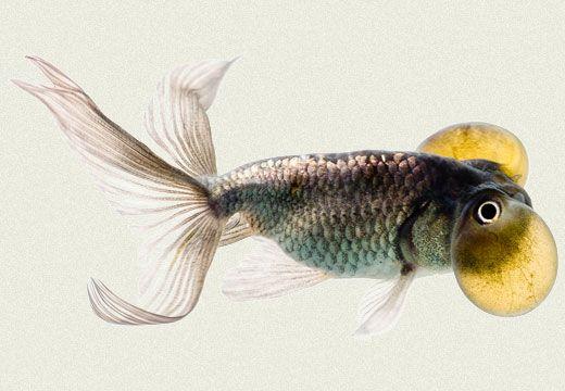 Blue bubble eye goldfish - photo#50