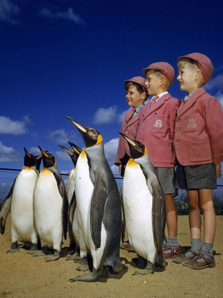 Schoolboys and Penguins, 1953  Photograph by B. Anthony Stewart, National Geographic    Schoolboys pose with king penguins in London, England.