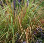 Stipa arundinacea One of the best and most versatile evergreen grasses, this will thrive in sun or shade, and glows shades of copper, gold and bronze in the autumn, hence its common name, Pheasant's Tail Grass.