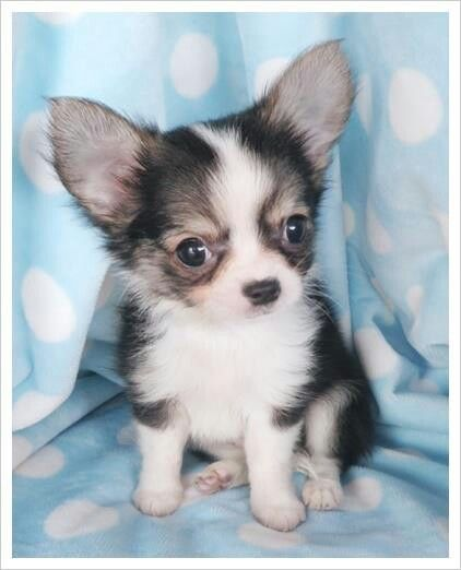 long hair chihuahua ideas
