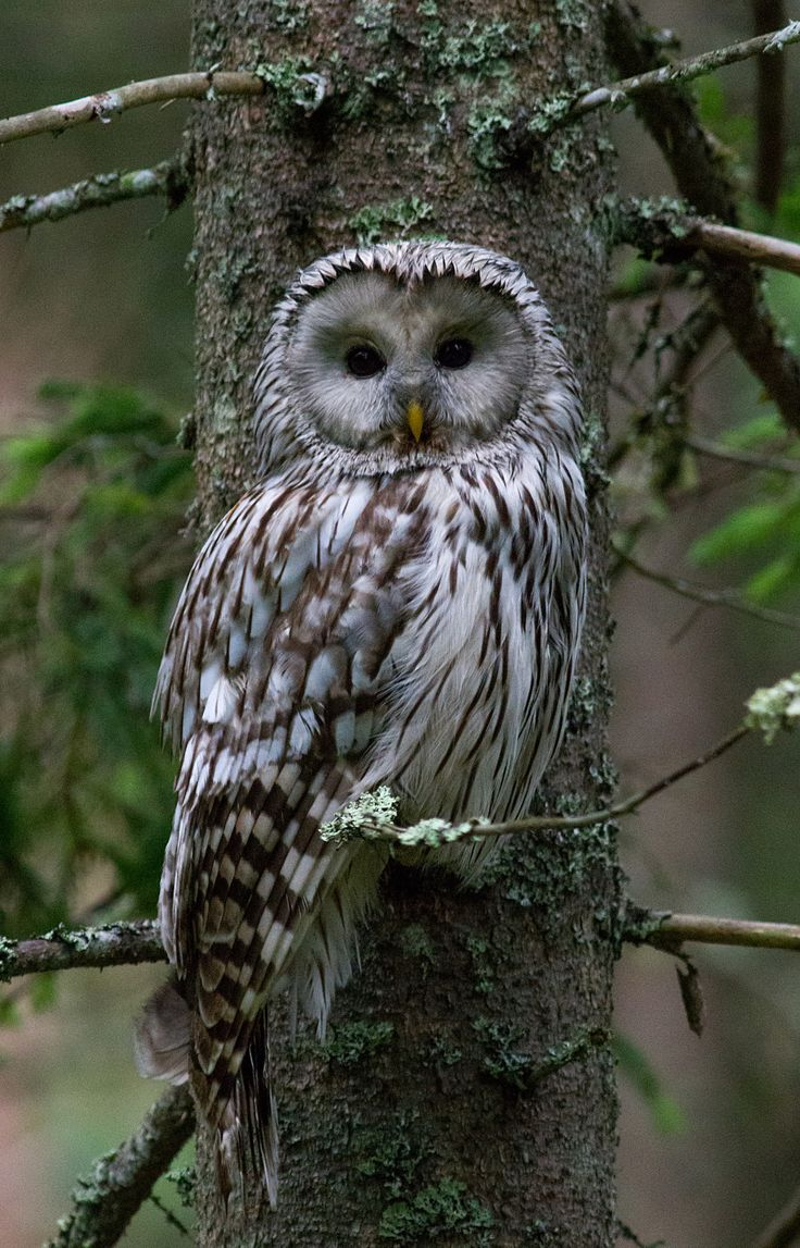 Majestic owl - Each encounter with this rare bird is kind of special and always memorable. This is ural owl, strix uralensis. June 2014, Estonia