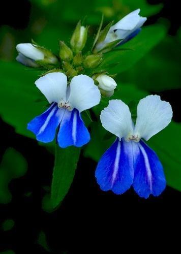 Blue Eyed Mary Beautiful Flowers Unusual Flowers Flowers