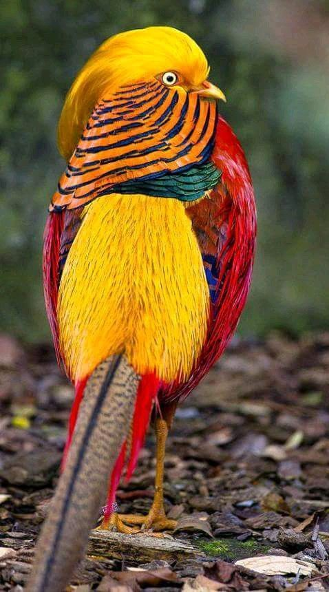 Golden Pheasant - Facts, Information and Pictures | Jesus | Most