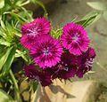 Dianthus barbatus - Wikipedia, the free encyclopedia