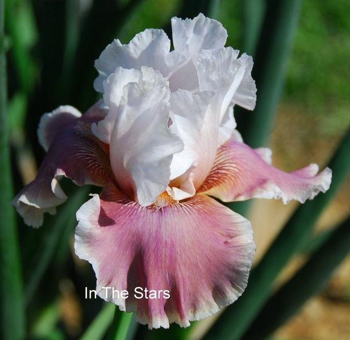 17 best images about irises on pinterest gardens. Black Bedroom Furniture Sets. Home Design Ideas