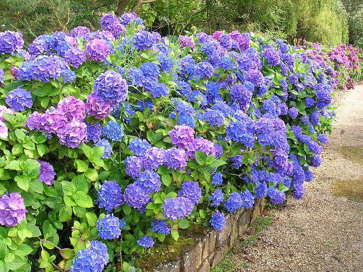 hydrangeas: Gardens Ideas, Favorite Flowers, Hydrangeas Bliss, Color, Bing Image, Plants, Backyard, Gardeningoutdoor Fun, Yard Ideas