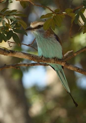 A racket-tailed roller, slightly different to its lilac-breasted cousin. Seen on safari in #Zimbabwe