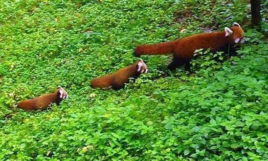 Aww — a mummy red panda and her babies! Heart totally melted!