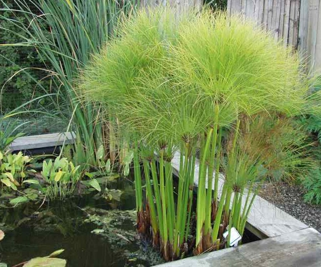 the 25 best ideas about cyperus papyrus on pinterest web king outdoor pots and planters and. Black Bedroom Furniture Sets. Home Design Ideas