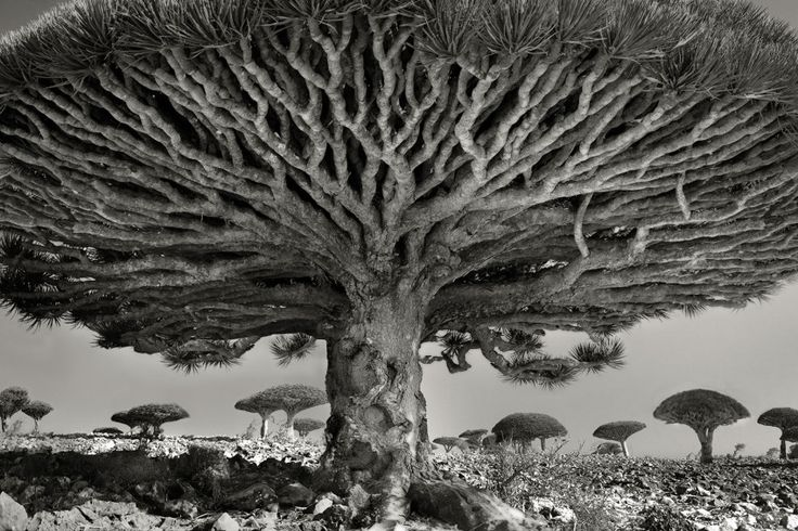 These Ancient Trees Have Stories to Tell.   Picture of a dragon's blood tree, Socotra, Yemen