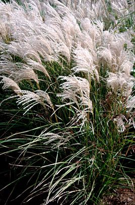 rhs plant selector miscanthus sinensis 39 kleine font ne 39 agm rhs gardening miscanthus. Black Bedroom Furniture Sets. Home Design Ideas