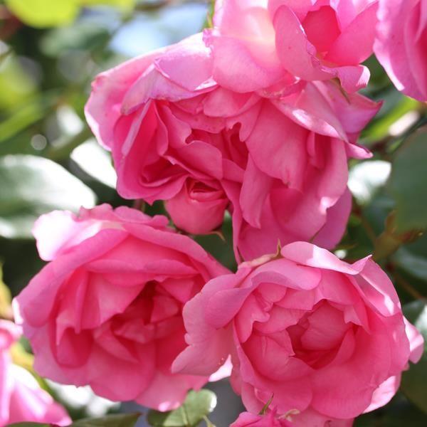 'Centenaire de Lourdes' - Delbard (1958). Trosroos. Brede boeketten van halfdubbele lichtroze bloemen (10cm).  Zeer sierlijke plant die altijd vol bloemen staat en zeer ziekteresistent is.  Uitstekend voor massieven.  100cm x 60cm. BR