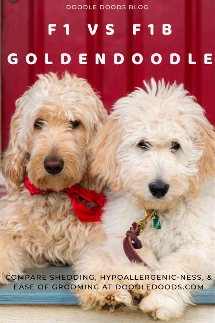 F1 Vs F1b Goldendoodle Which Is Best Comparing Coats In 2020 F1b Goldendoodle Goldendoodle Goldendoodle Puppy