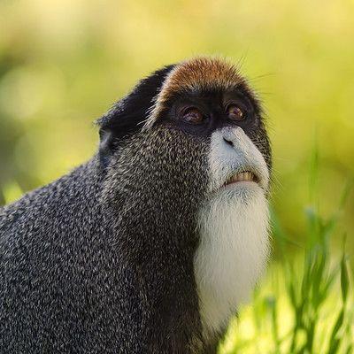 Какой это вид обезьяны? Мартышка Бразза! Обезьяны Бразза встречаются во влажных лесах экваториальной Африки от Камеруна до Анголы и Уганды. Благодаря выразительной яркой полоске на лбу и белой бородке, этот вид легко узнаваем.