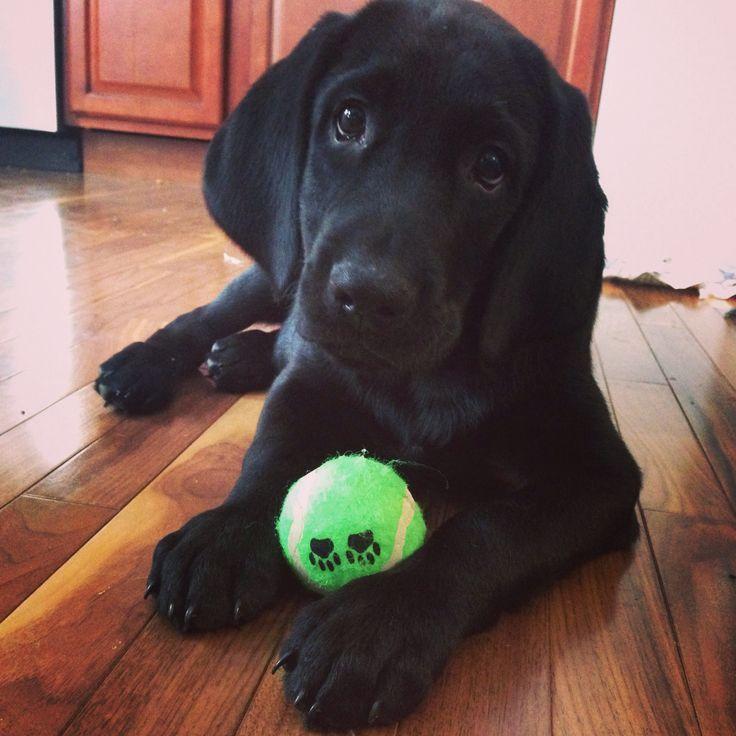 Black Lab Bloodhound Mix Black lab hound mix puppy