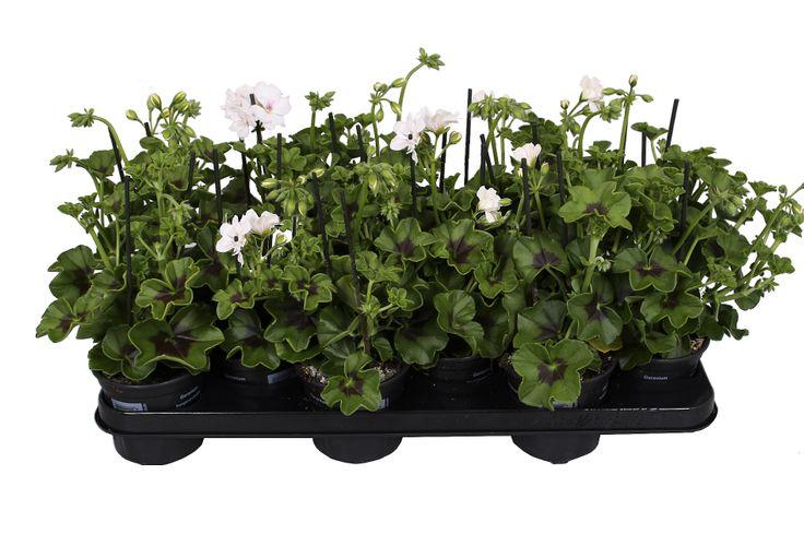 Pelargonium Peltatum Blanche Rouche tray
