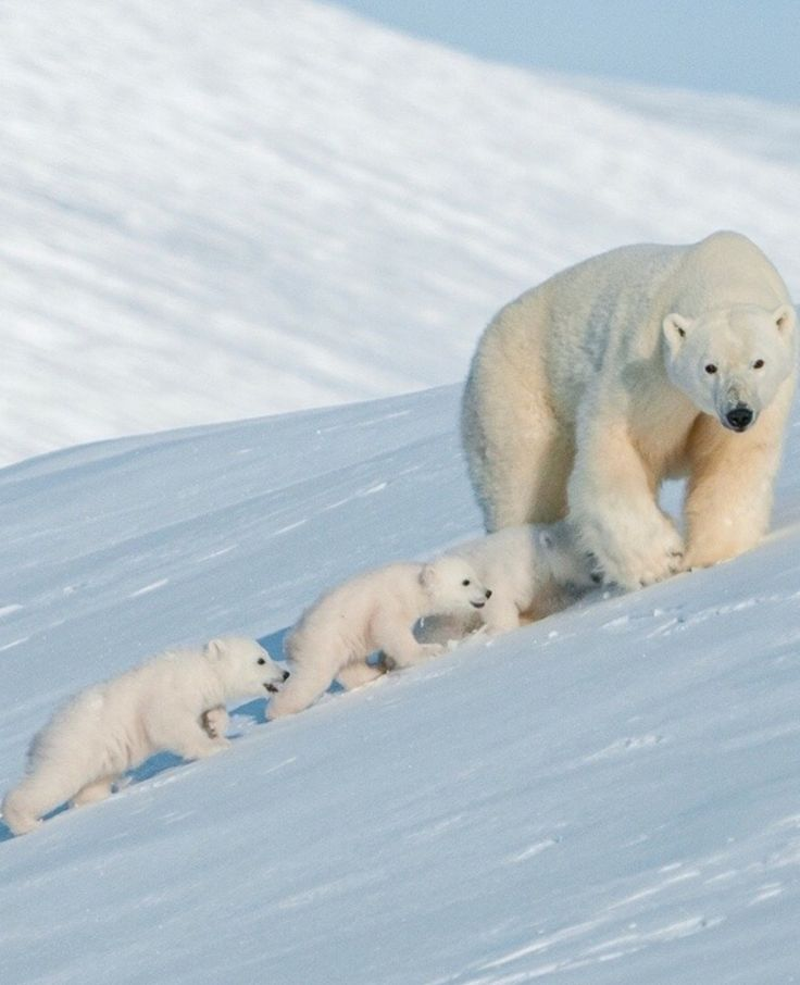 THREE small polar bears and her big bear mom!