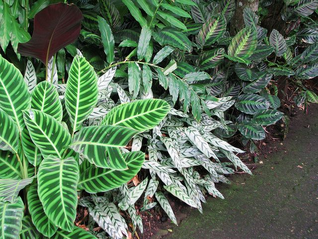49 best images about plants calathea on pinterest leaves for Garden plant information
