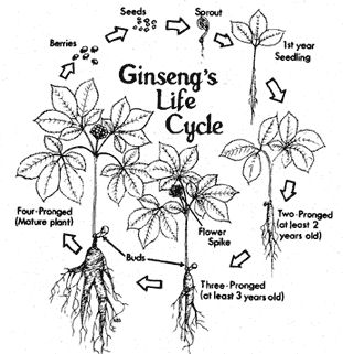 Growing American Ginseng in Ohio: Site Preparation and Planting Using the Wild- Simulated Approach
