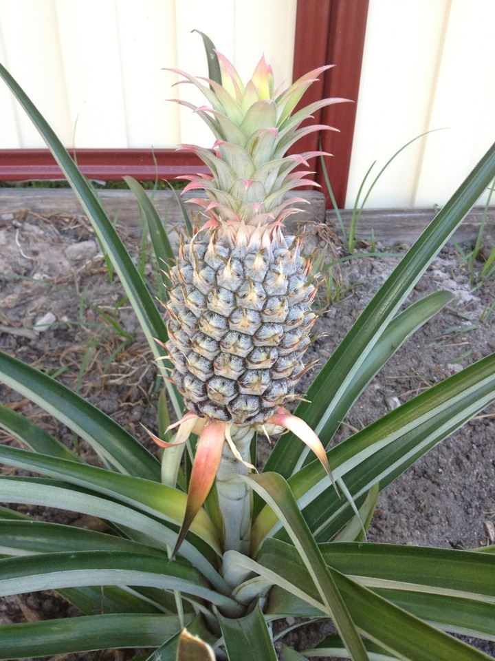 how to take care of a pineapple plant indoors