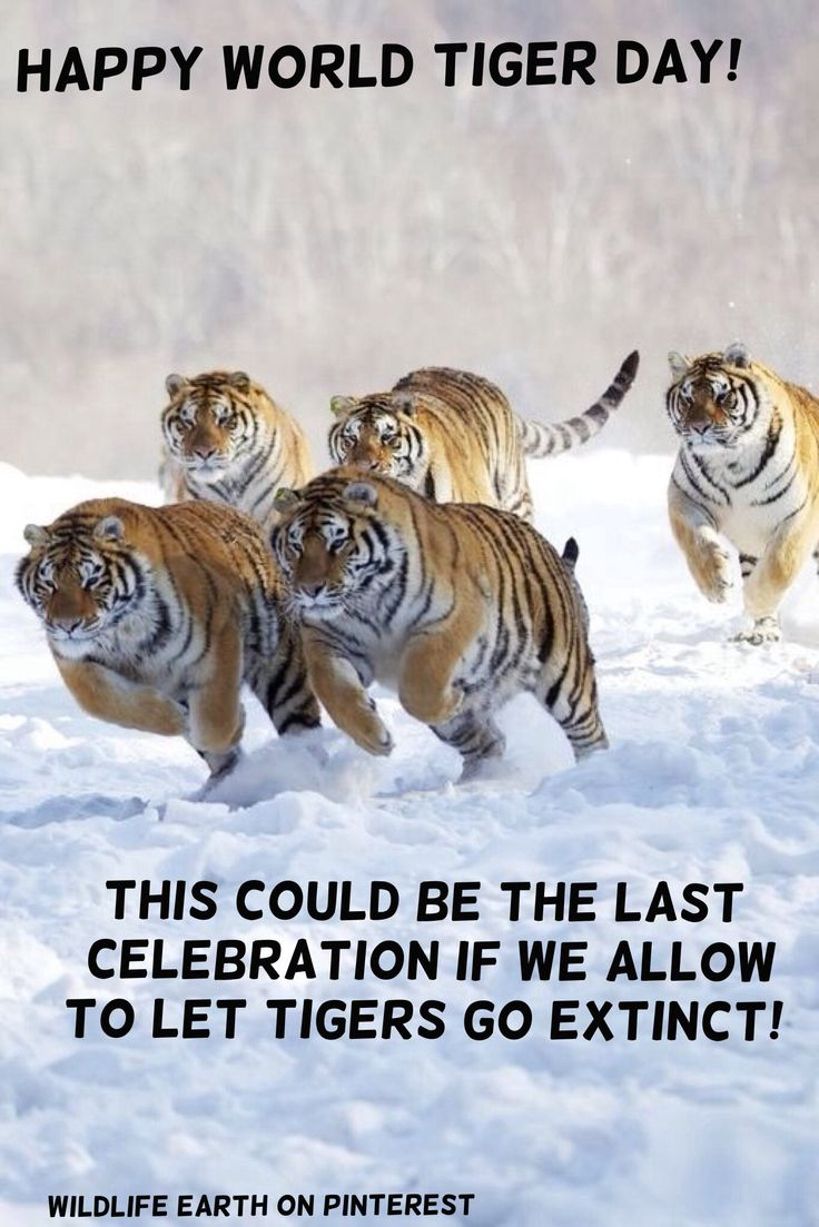 Happy World Tiger Day! Did you know that there is only 3,000 Tigers left in the wild?! That's 97% of the Tiger species gone, due to habitat destruction and hunting! And humans are the reason for the Tigers to go nearly EXTINCT! I hope that I live to see at least one Tiger in the wild before they're all gone! Please don't allow this to happen, the entire Tiger species WILL go extinct unless we all do something NOW! Time is running out... - Wildlife Earth on Pinterest, for more wildlife news!