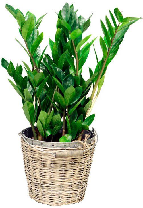 Huonekasvit, joiden omistajan ei tarvitse olla viherpeukalo