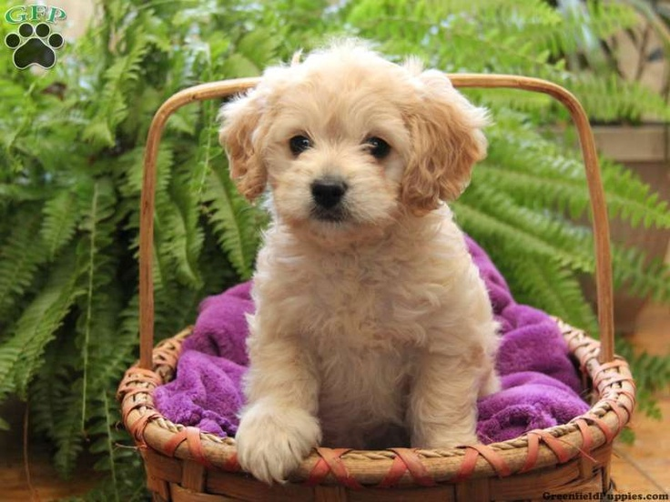 17 Best Images About Cockapoo Puppies On Pinterest Teddy