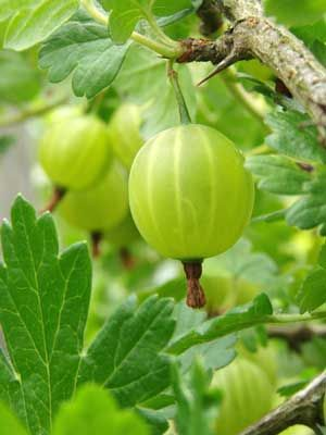 Gooseberry Bush, the grow guides from grow veg are available for all 180 of the plants on the garden planner plant selection toolbar, they are a wonderful resource..