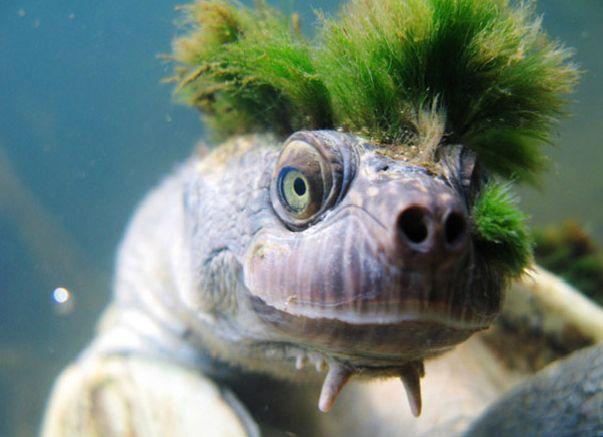 Mary River turtle, Australia. By Chris Van Wyk on flickr