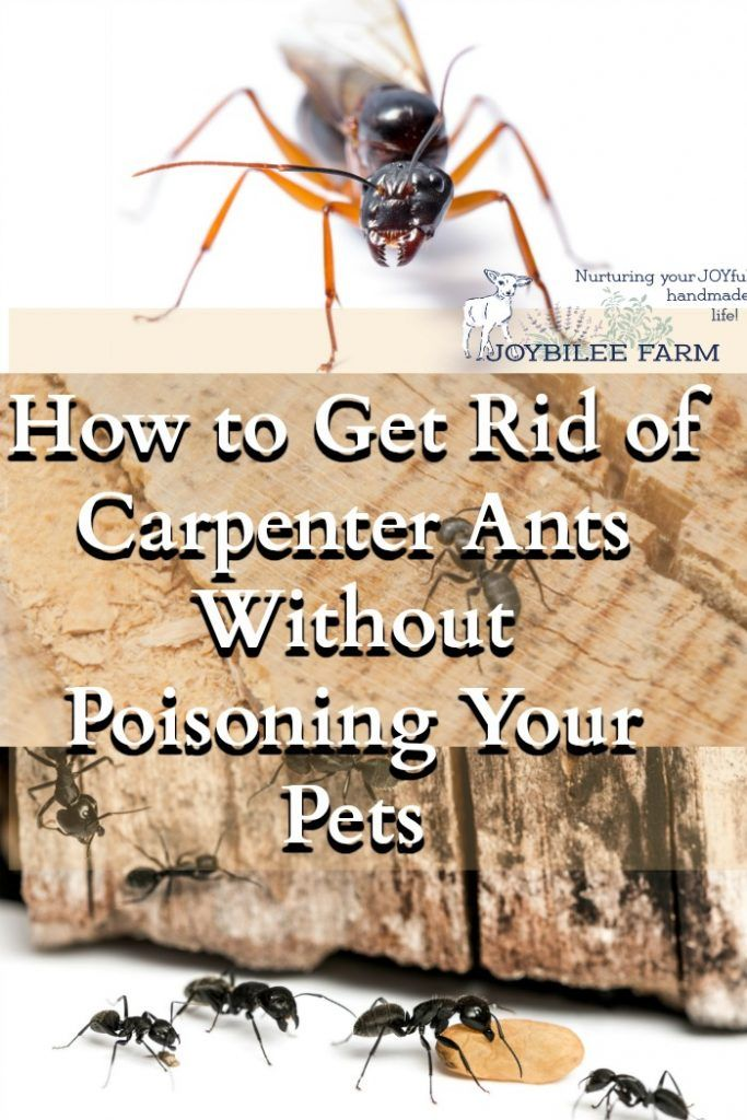 how to get rid of carpenter ants without poisoning your pets haushalte. Black Bedroom Furniture Sets. Home Design Ideas
