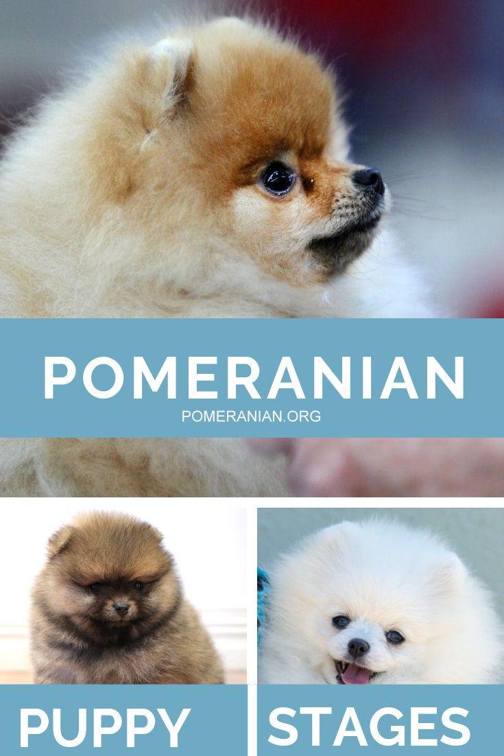 Pomeranian Puppy Stages Pomeranian Puppy Puppy Stages Puppies