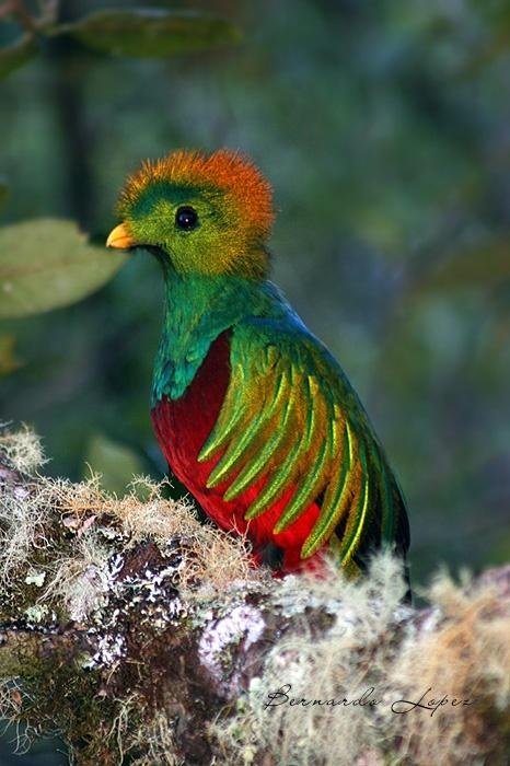 #Quetzal un ave del paraiso Mexicano: #QuintanaRoo #México