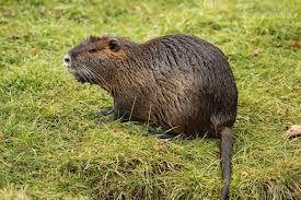nutrie říční -  známá též jako vodní krysa