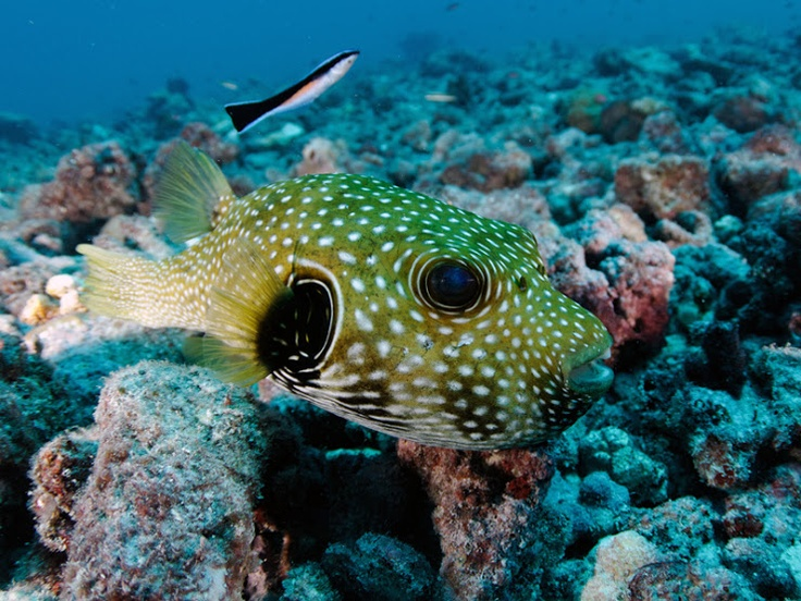 puffer fish in bora bora scuba diving in tahiti