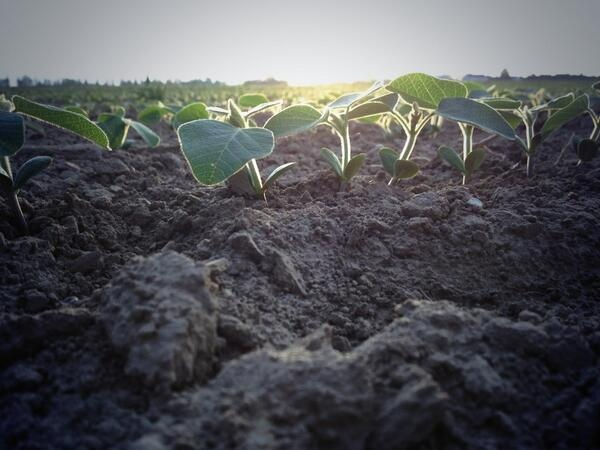 First rays of sun landing on @DEKALB_Canada #soybeans in #CKOnt. #plant13 #fromthefield #OntAg pic.twitter.com/hfui6hwAT9