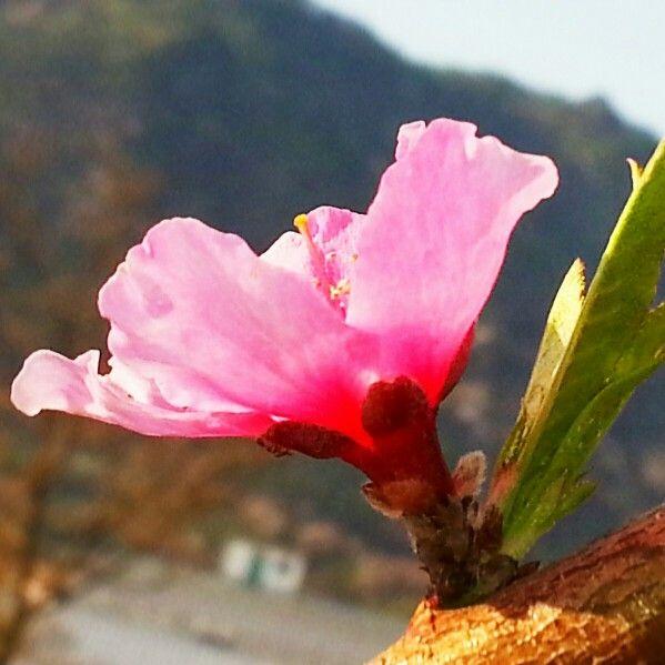 아침 햇살을 마음껏 즐기는 복숭아꽃의 여유로운 모습이 ᆢ