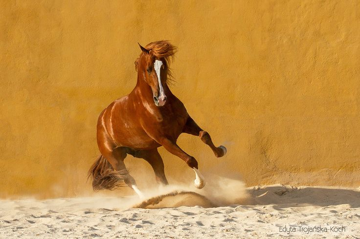 Luso-arabian stallion - Lus-arabian stallion on the sand arena
