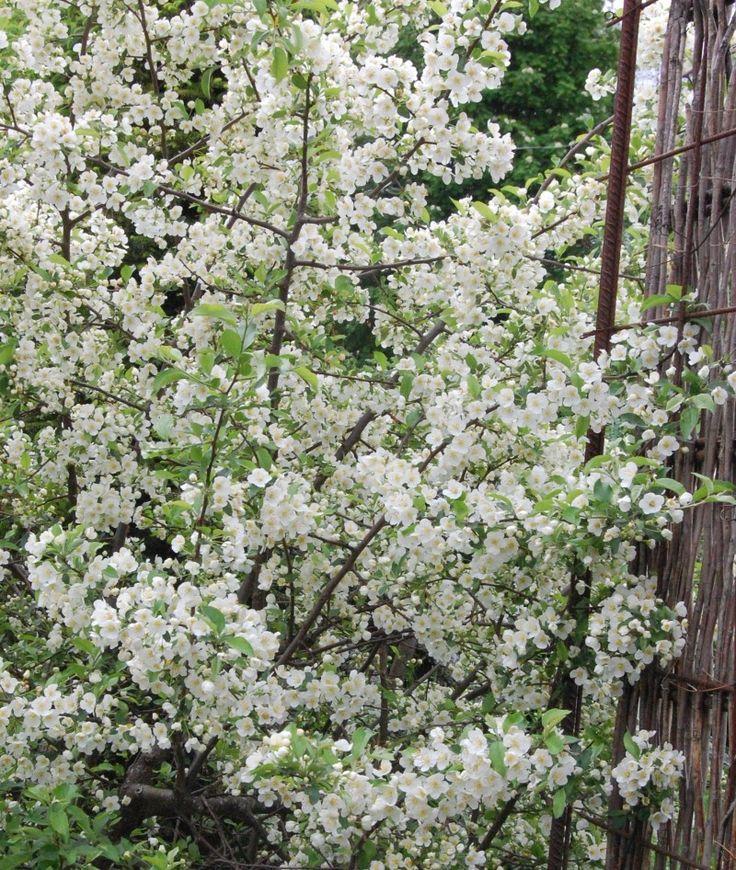 Bukettapel i blom. Zon 5. Finns även som litet träd med vackra röda ätbara bär.