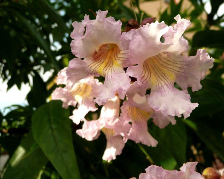 X Chitalpa Tashkentensis | Chitalpa Tashkentensis Flower Good Flowering  Desert Tree  Catalpa X Chilensis;