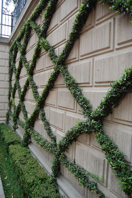Definitely want an espalier and I like the small leaves on this vine, not sure what it is though.: