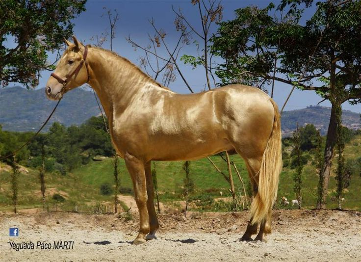 PRE stallion Sol PM II. Yeguada Paco Martí