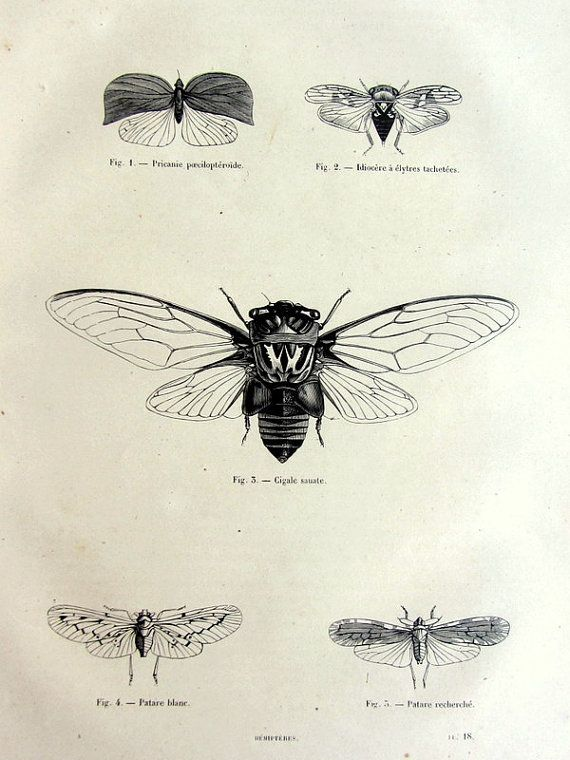 1860 vintage french gorgeous cicadas print, antique original 1860 hemiptera insects engraving, cicadas ( Cigale sauate) plate illustration.
