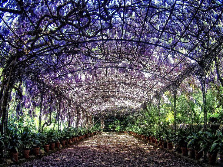 Whisteria in el Jardín botánico de Málaga.