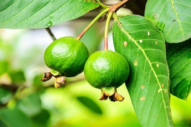 O corrimento vaginal pode ser tratado naturalmente com o uso do chá de folhas de goiabeira e através da alimentação adequada, pois isso ajuda a flora...